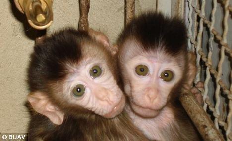 世界各地的圈养猴子生育的小猴子,将会用船送往英国各地的实验室