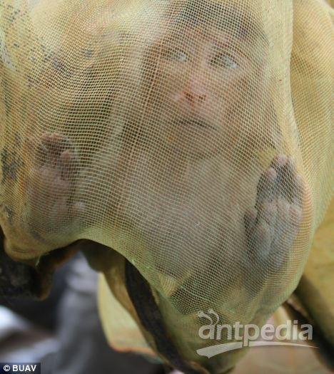在柬埔寨,捕猎者捉到一只猴子后,把它放进袋子里。