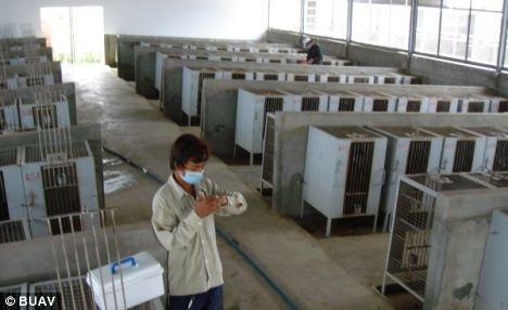 在柬埔寨,这些猴子在运输前被关进笼子。