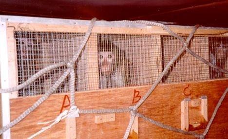 装船运输前,可怜的猴子被关进笼子。