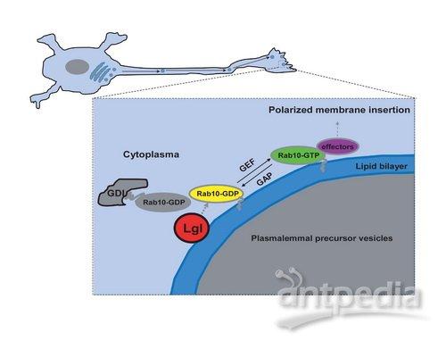 神经元具有典型的极性结构,复杂分支的树突负责接受信息,单根轴突