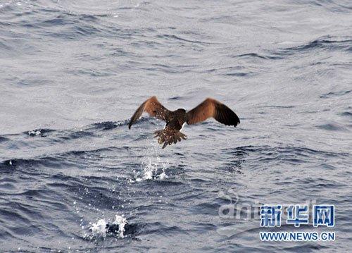 二级保护动物褐鲣鸟捕鱼