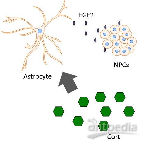 短期压力促进神经干细胞产生更多神经元