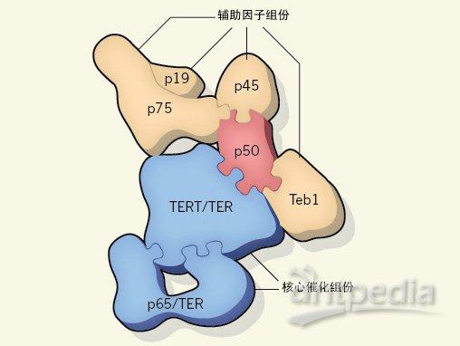 端粒酶(Telomerase)主要负责合成能够保护染色体末端完整性的DNA片段。最近发现的端粒酶复合体的组装机制有望帮助我们更好地认识其结构以及相关的功能。   早期有关DNA复制机制的研究发现了一个惊人的现象,即细胞在每一轮分裂的时候都会让染色体DNA的末端缩短一点点,如果放任不管,那么终究有一天,细胞里的DNA就会所剩无几了。不过不用担心,端粒酶可以解决这个问题。端粒酶是位于染色体末端的一种结构,它里面含有一系列的非编码DNA重复序列(non-coding DNA repeat),这些序列会随着每
