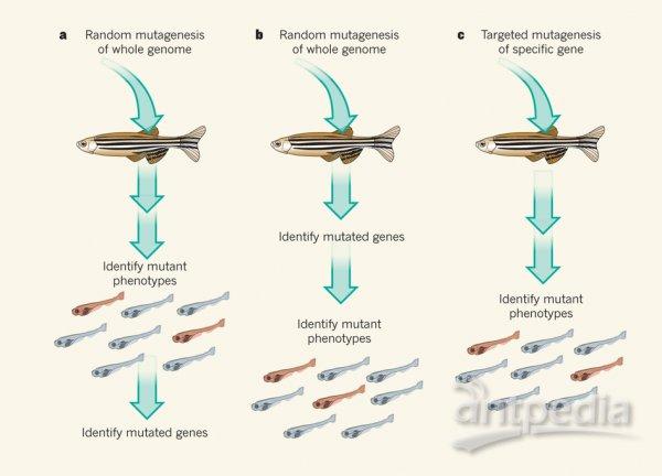 人类发育,生理功能及疾病发生的过程涉及到成千上万的基因和其变异体,但是大部分的基因和其变异体的功能依然是未知的。过去的20年里,斑马鱼逐渐成为研究人类基因功能的重要模式动物。在《自然》杂志网站发表的两篇文章里1,2,报道了斑马鱼参考基因组序列和完成超过10,000个蛋白编码基因的断裂性突变体的鉴定,与最近的研究报道一起将有力地促进人类疾病研究3-7。   常见的研究基因功能的手段是确定某个特定的突变对机体表型的影响,如骨骼,生理机能和行为模式等。斑马鱼胚胎和幼鱼具有个体小,易于获取,胚体透明等特点,可