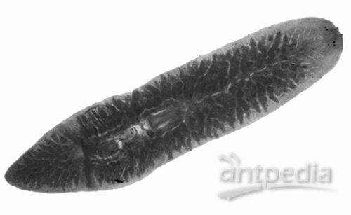 科学家调控真涡虫头部再生