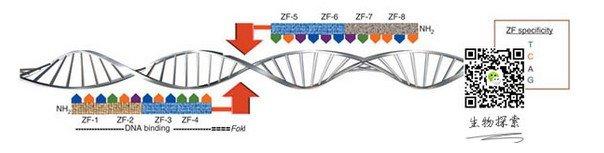 基因编辑技术一直都是生命科学的热门研究领域,近来编辑领域出现了可与转基因小鼠技术相媲美的新RNAi干扰技术,该技术由洛克菲勒大学的研究人员研制出,在全基因组水平上首次对小鼠进行RNAi筛查研究,并在数月内发现了导致表皮肿瘤生长的基因,研究成果发表在《自然》期刊上。    RNAi技术筛查致病基因的分子机理是,RNAi通过序列互补作用识别了包含特定序列的基因,进而阻断该基因的表达和翻译,最终发现某些疾病的致病基因。   新RNAi技术短时高通量筛查疾病基因   洛克菲勒大学Elaine Fuchs 教授