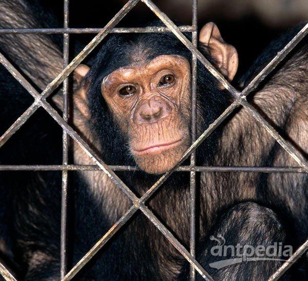 """美动物保护组织为黑猩猩争取""""人格""""自由"""