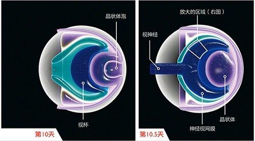 单层的视网膜上皮也演变成了层级结构