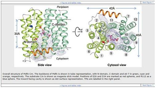 8月4日,中国科学院生物物理研究所张凯组和赵永芳组合作在Cell Research 发表了题为Substrate-bound structure of the E. coli multidrug resistance transporter MdfA 的研究成果。   细菌的药物抗性是当今全球面临的最主要的公共健康威胁之一。抗药性相关的机制研究及对策已成为世界卫生组织和各国政府共同关注的问题。细菌有多种形式的抗药机制,最普遍的一种机制是利用细胞膜上的多个药物外排泵,将抗生素外排出细胞。大肠杆菌MFS家