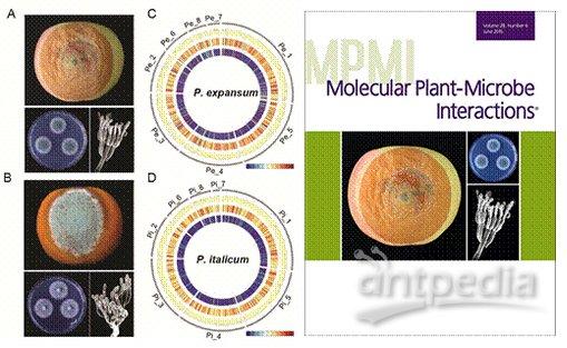 青霉生物结构图片