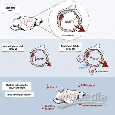 小鼠脑部结构图