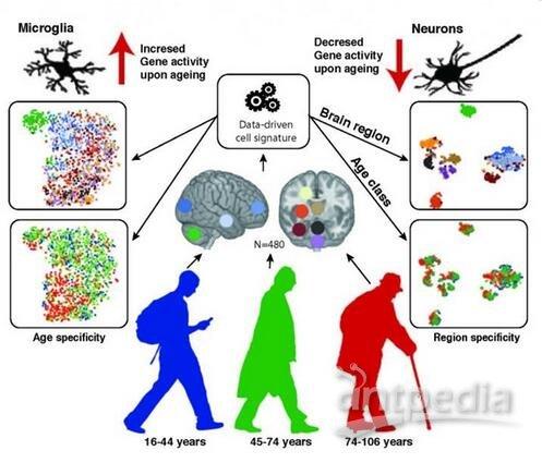 它们的大脑区域(特别是海马体和黑质)基因表达模式