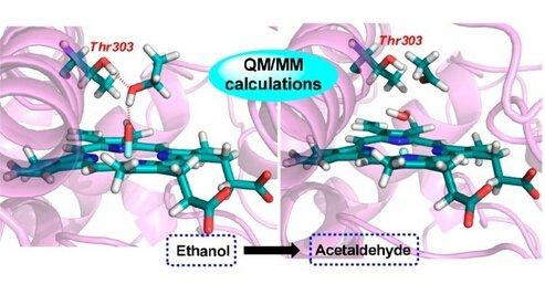 细胞色素P4502E1酶催化研究新进展Thr303残