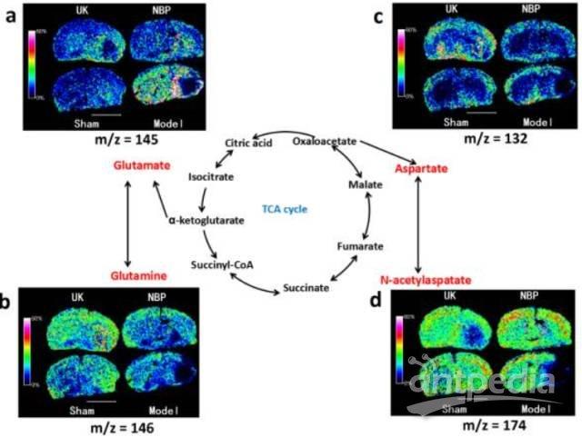 丁苯酞改善 pmcao 大鼠脑内谷氨酸-谷氨酰胺循环和苹果酸-天冬氨酸